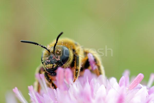Dolgozik méh közelkép kilátás gyűjt virágpor Stock fotó © guffoto