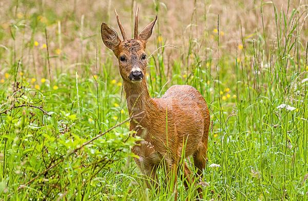 wild deer Stock photo © guffoto