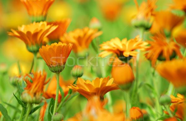 Virágok vibráló narancs színek virág természet Stock fotó © guffoto
