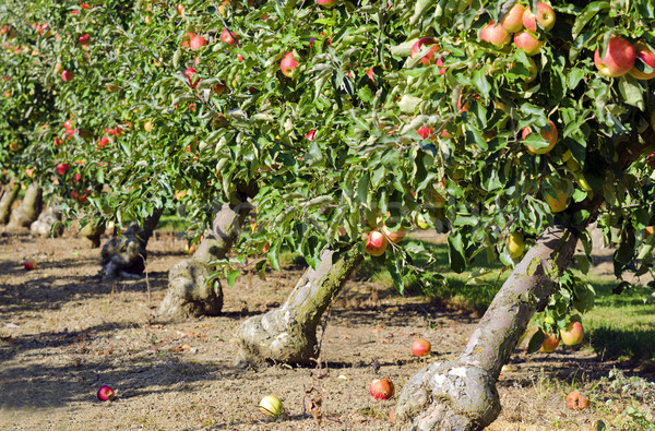 apple orchard Stock photo © guffoto