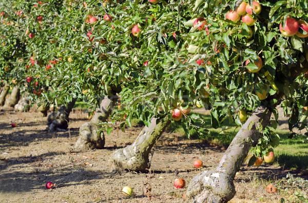 Appelboomgaard appel gezondheid landbouw vers tuinieren Stockfoto © guffoto