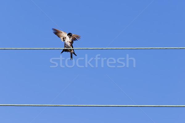 Kettő elektomos kábel tavasz kék madarak Stock fotó © guffoto