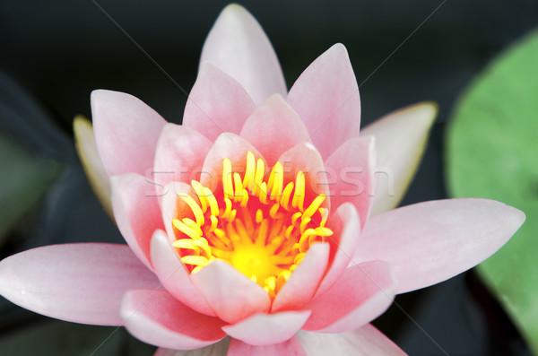 Víz liliom rózsaszín tavacska szirmok virág Stock fotó © guffoto