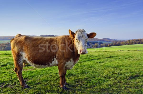 Inek yeşil çayır ayakta Stok fotoğraf © guffoto