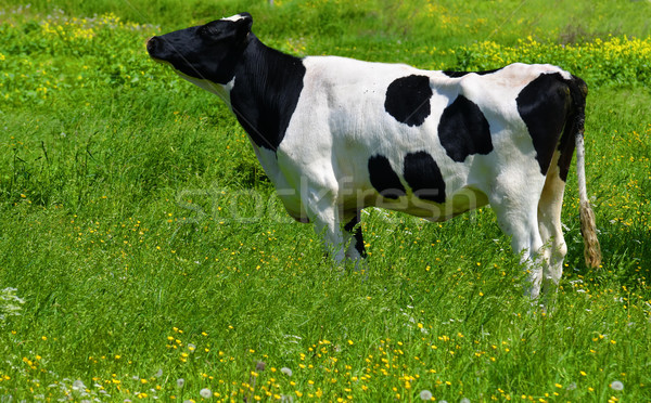 Vaca verde prado flor grama animal Foto stock © guffoto