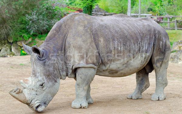 Rhinoceros Stock photo © guffoto