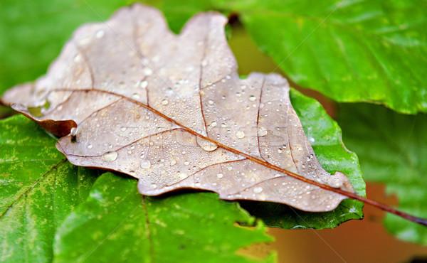 Halott levél tölgy fedett eső cseppek Stock fotó © guffoto
