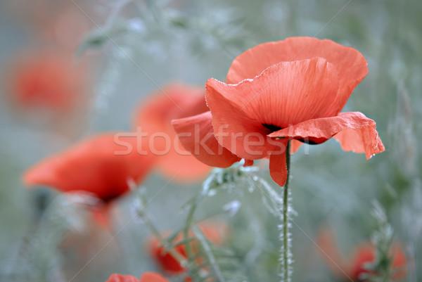 Virág természet piros legelő pipacs virág Stock fotó © guffoto