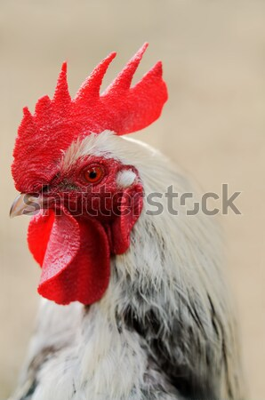 rooster Stock photo © guffoto