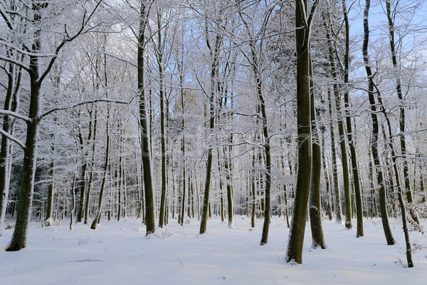 snowy forest Stock photo © guffoto