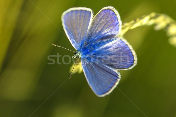 Kék pillangó közelkép természet háttér szín Stock fotó © guffoto