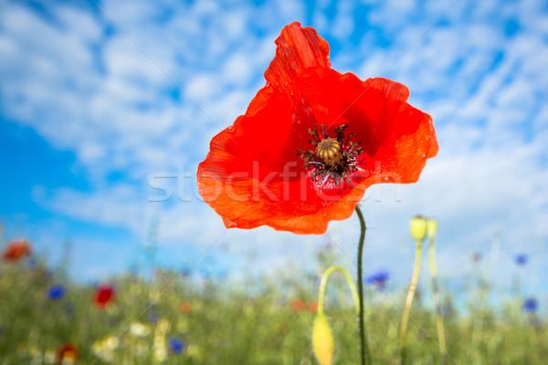poppy Stock photo © guffoto
