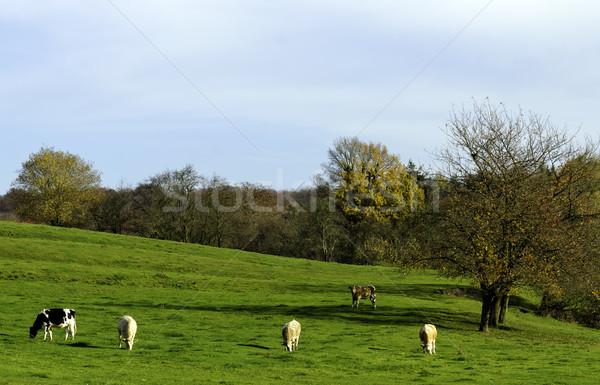green pasture Stock photo © guffoto