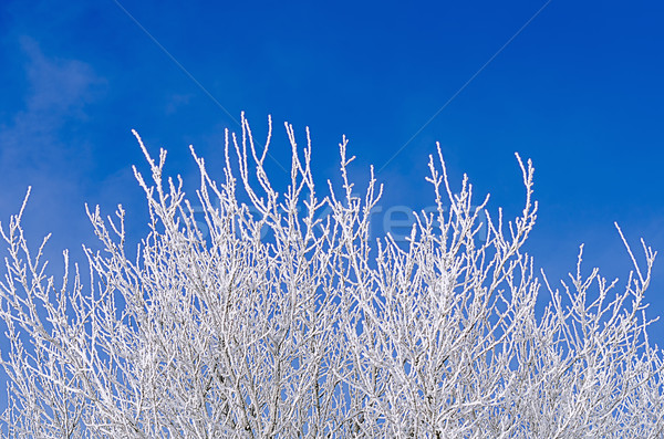 frosted tree Stock photo © guffoto