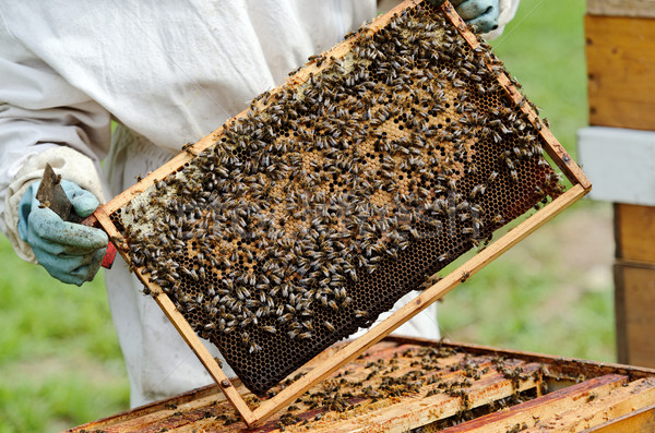 beekeeper Stock photo © guffoto