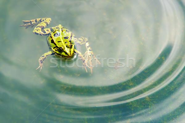Béka zöld víz természet Stock fotó © guffoto