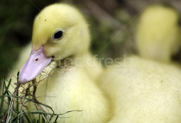 Kiskacsa kicsi eszik fű húsvét tavasz Stock fotó © guffoto