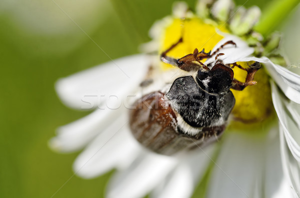 May beetle Stock photo © guffoto