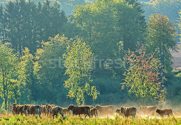livestock Stock photo © guffoto