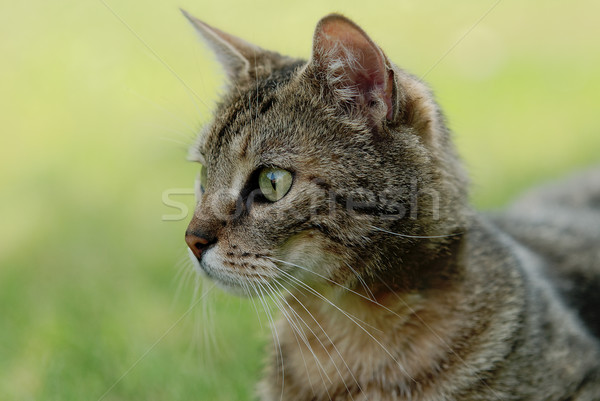 tabby cat Stock photo © guffoto