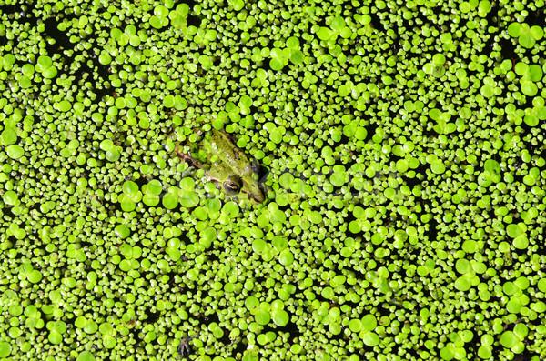 green frog Stock photo © guffoto