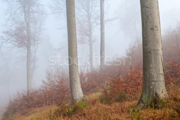 Foto d'archivio: Misty · foresta · atmosfera · albero · legno