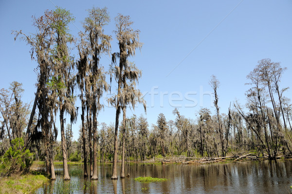 Cypress and Tupelo Standing in Water in Florida Marsh Land  Stock photo © gwhitton