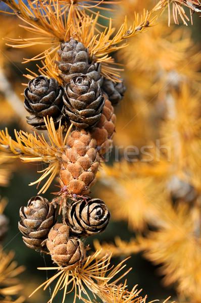 Drzewo spadek lasu charakter drzew pozostawia Zdjęcia stock © gwhitton
