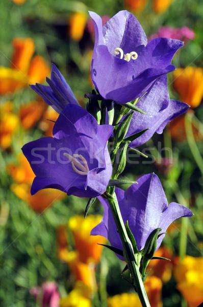 紫色 花 自然 夏 緑 黄色 ストックフォト © gwhitton