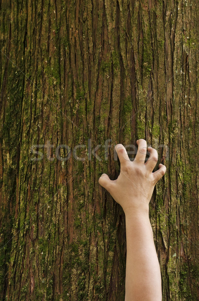 Hand clawing up a cedar tree trunk Stock photo © Habman_18