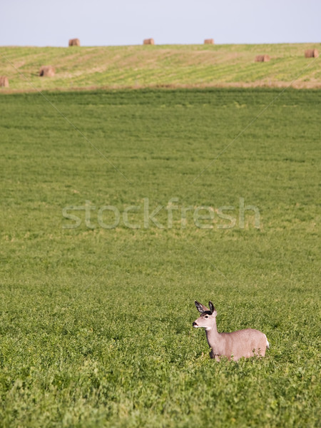 Deer in alfalfa field Stock photo © Habman_18