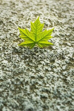 Zöld juharlevél gránit kő fiatal figyelem Stock fotó © Habman_18