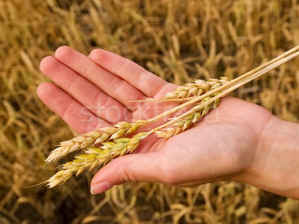 Wheat in hand Stock photo © Habman_18