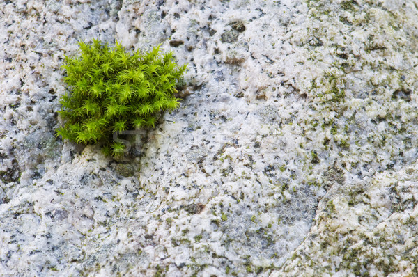 Small clump of moss grows on granite rock Stock photo © Habman_18
