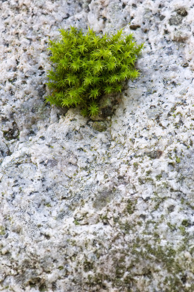 Small tuft of green moss growing on granite rock Stock photo © Habman_18
