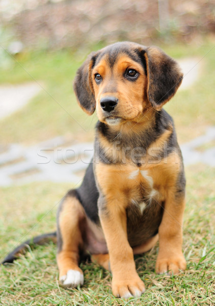 Piccolo beagle ritratto immagine nero giardino Foto d'archivio © hamik