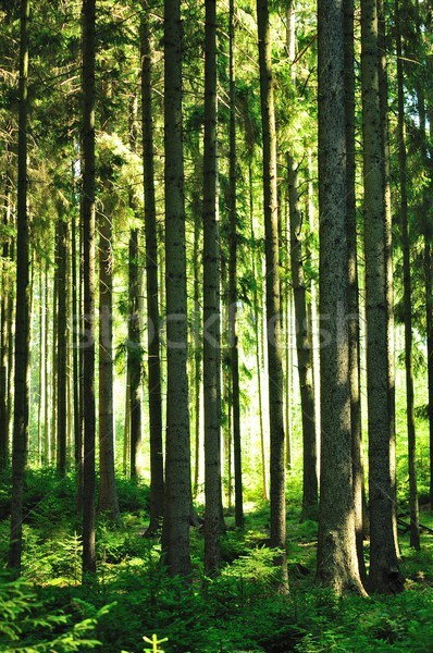Zonnige bos zon stralen licht natuur Stockfoto © hamik