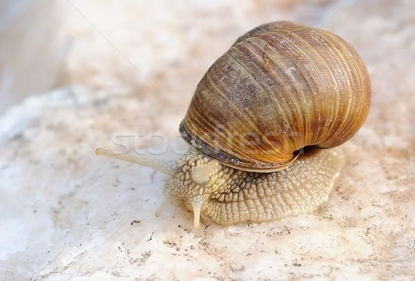 Small snail Stock photo © hamik