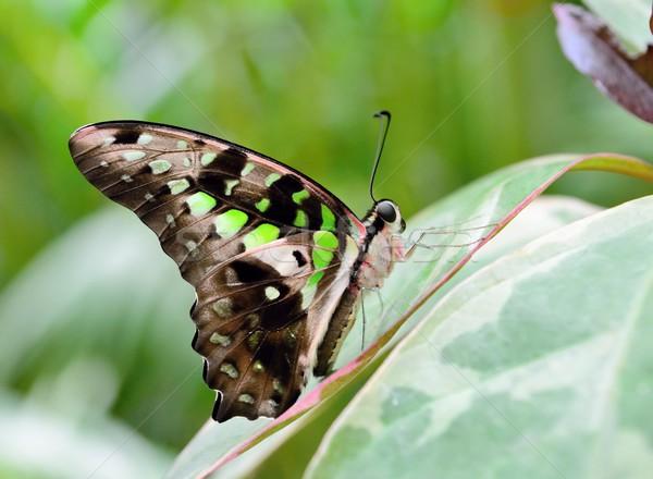 Tailed jay butterfly Stock photo © hamik