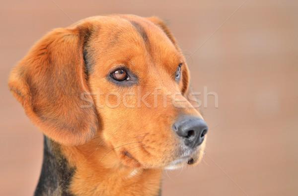 Beagle primo piano testa ritratto piccolo rosolare Foto d'archivio © hamik