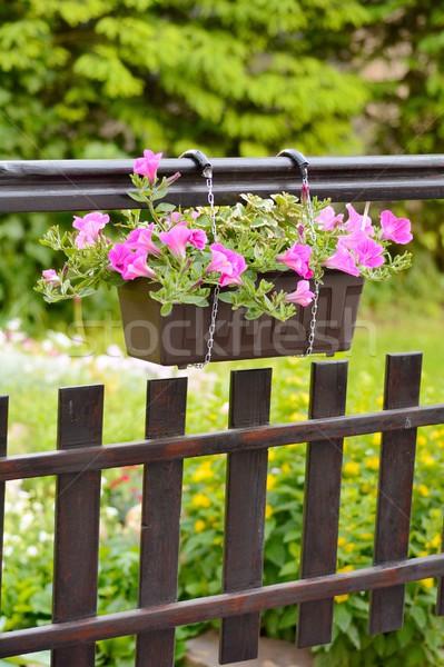 Petunia flower Stock photo © hamik