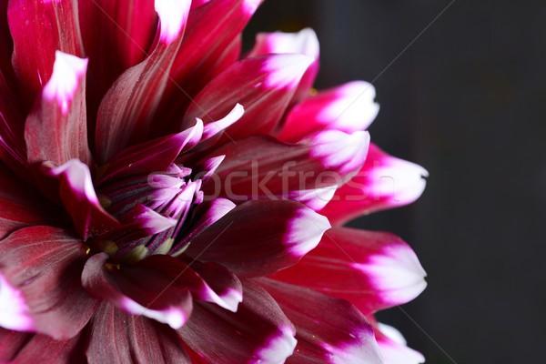 Dalya çiçek düşük anahtar atış karanlık Stok fotoğraf © hamik