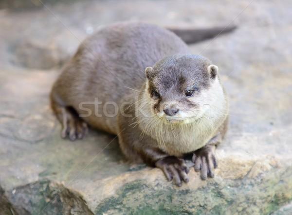Small-clawed otter Stock photo © hamik