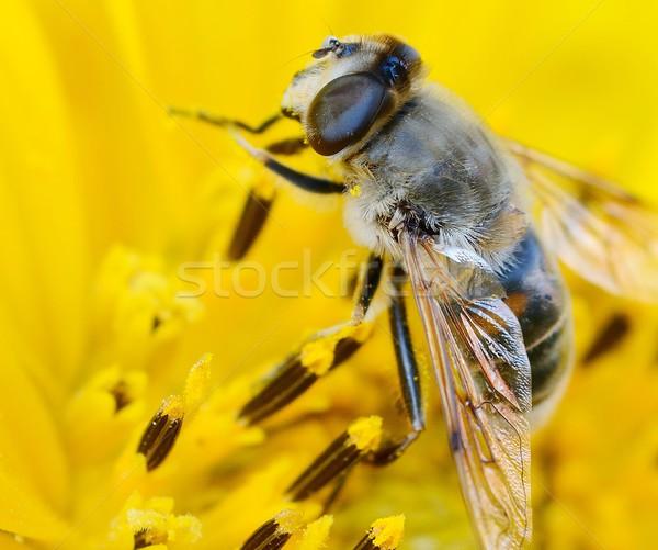 Bee on the sunflower Stock photo © hamik