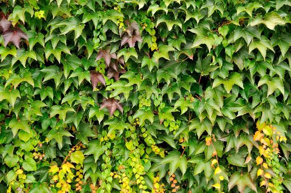 Vivere recinzione primo piano immagine verde casa Foto d'archivio © hamik