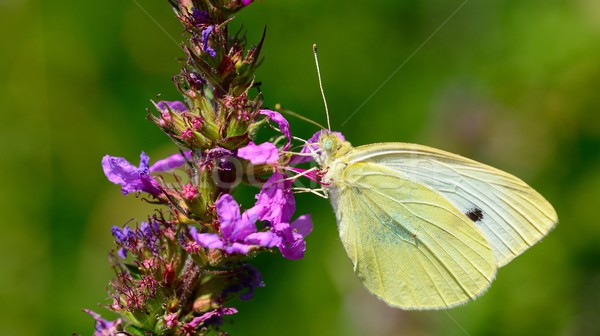Cabbage white butterfly Stock photo © hamik