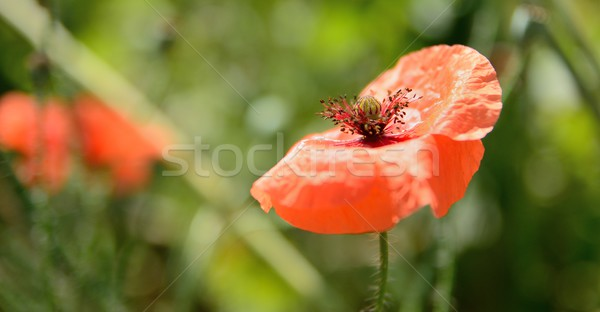 Poppy bloom	 Stock photo © hamik
