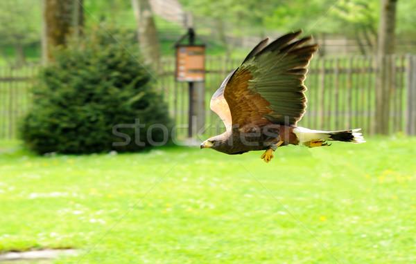 Vlucht adelaar gouden natuur vogel portret Stockfoto © hamik