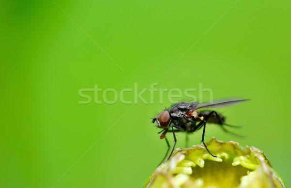 Fly on plant Stock photo © hamik