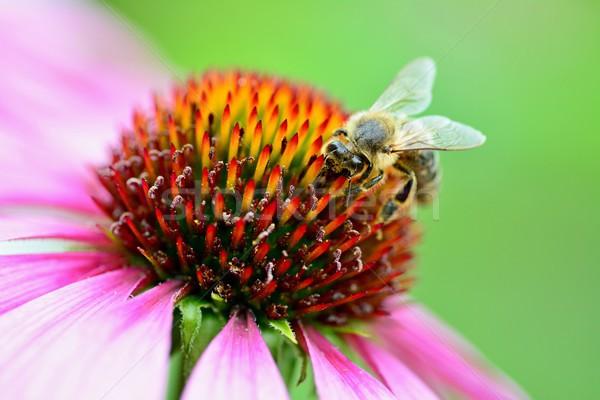 Albină primăvară fundal frumuseţe plantă Imagine de stoc © hamik
